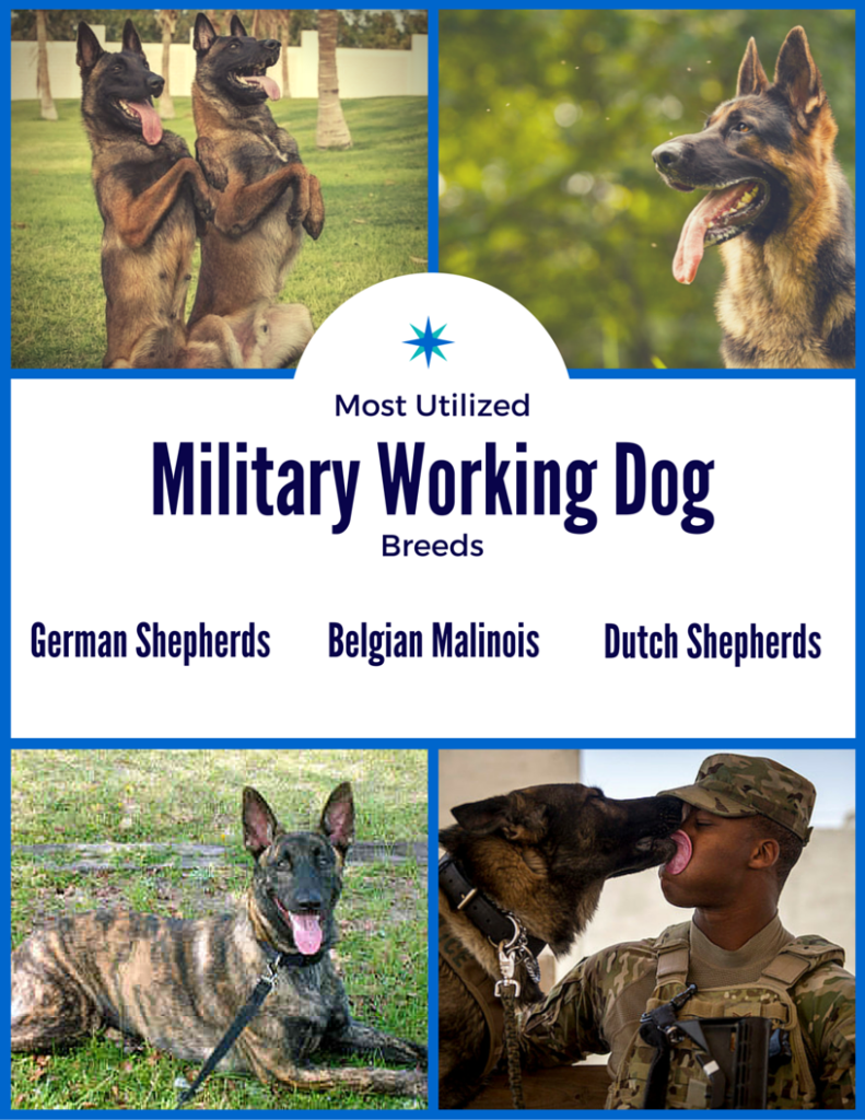 K9 veterans day - current breeds of military dogs